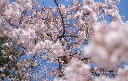 Proljeće u Japanu